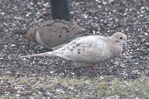 Leucistic mourning dove by ricmcarthur