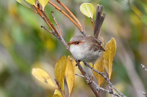 Superb Fairy-wren , female