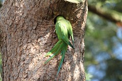 Ring-necked Parakeet investigating nest hole in Kew Gardens (4)