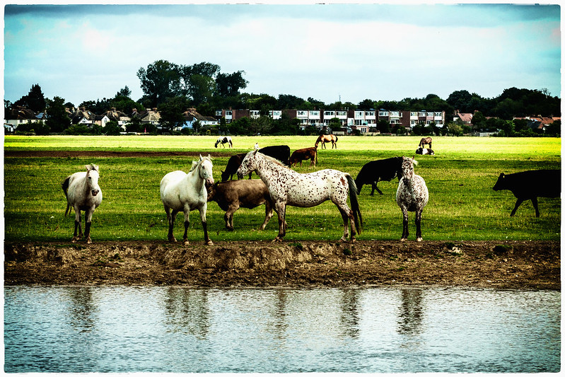 Port Meadow Horses