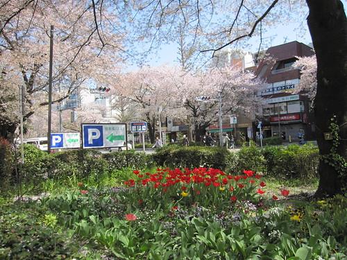 国立大学通り 2013.4.4 by Poran111