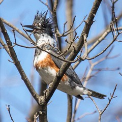 A Belted Kingfisher... One of the more challenging birds to photograph in our area. Photo taken at Vassar Farm.  #birds #instabirds #most_deserving #birdsofinstagram #natureonly #ilovebirds #best_birds_of_instagram #igbirdfreaks #birdphotos #birdphotograp