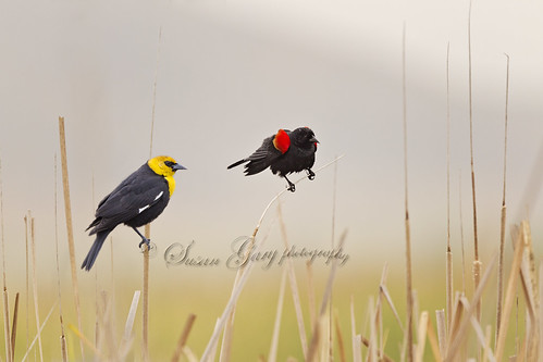 Two Blackbirds in Reeds by *GloriousNature*bySusanGaryPhotography