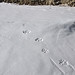 Cat paw prints and tail, Ladakh (Russell Scott)