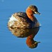 Little Grebe , Kinnordy Loch.. by EPJ's