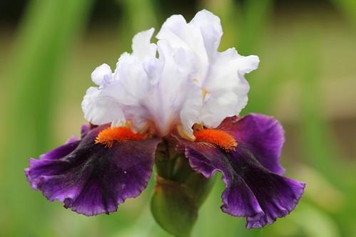 Iris - floraisons 2011 - Page 3 8664563453_0ccc494ba3