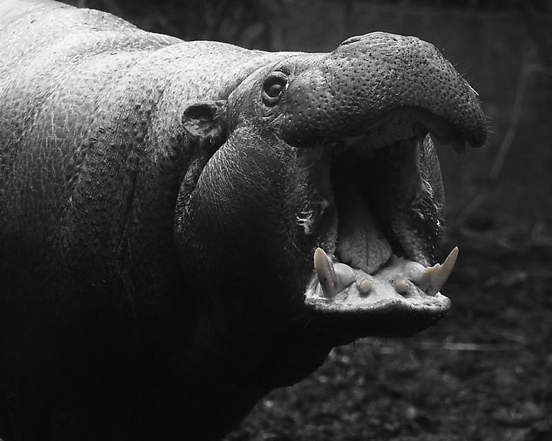 Pygmy Hippo 1 130321