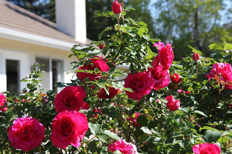 rose_180