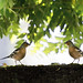 Chaffinches meeting in the morning sun