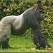 Bauwi, the Silverback Gorilla by Foto Martien