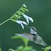 Ruby Throated hummingbird by Jack Nevitt