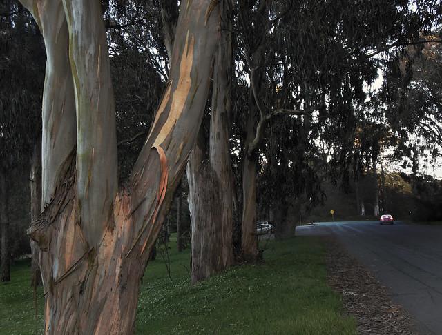 Eucalyptus Tree at Polo Fields in Golden Gate Park, San Francisco.  (2013)