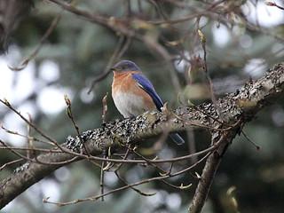Eastern Bluebird; Sialia sialis