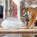 Tigers Play with Football-Shaped Ice Block