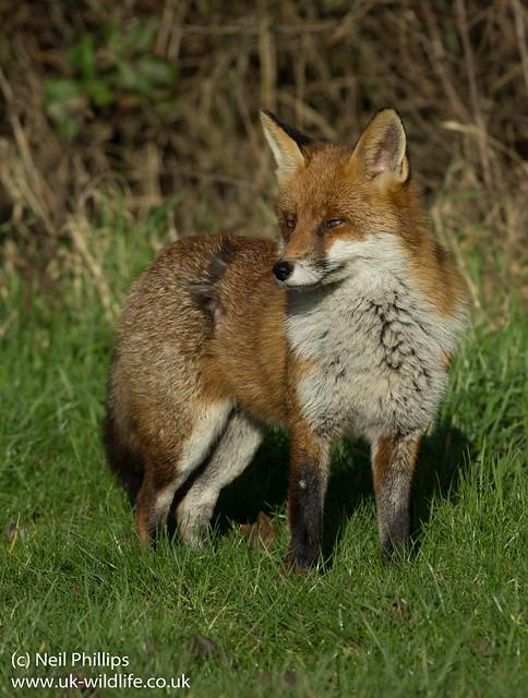 Red Fox-4