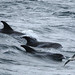White-beaked Dolphins and Fulmar