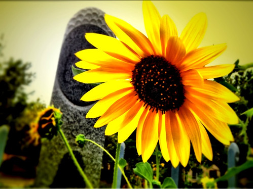Sunflower with Monolith by rraabfaber