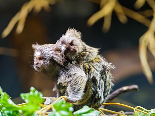 [フリー画像素材] 動物 (哺乳類), 猿・サル, マーモセット, 動物 - 親子 ID:201303021000
