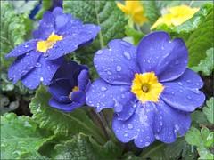 Blue primroses