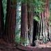 Redwoods #195