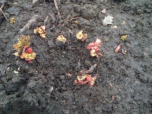 rhubarb shoots Mar 13