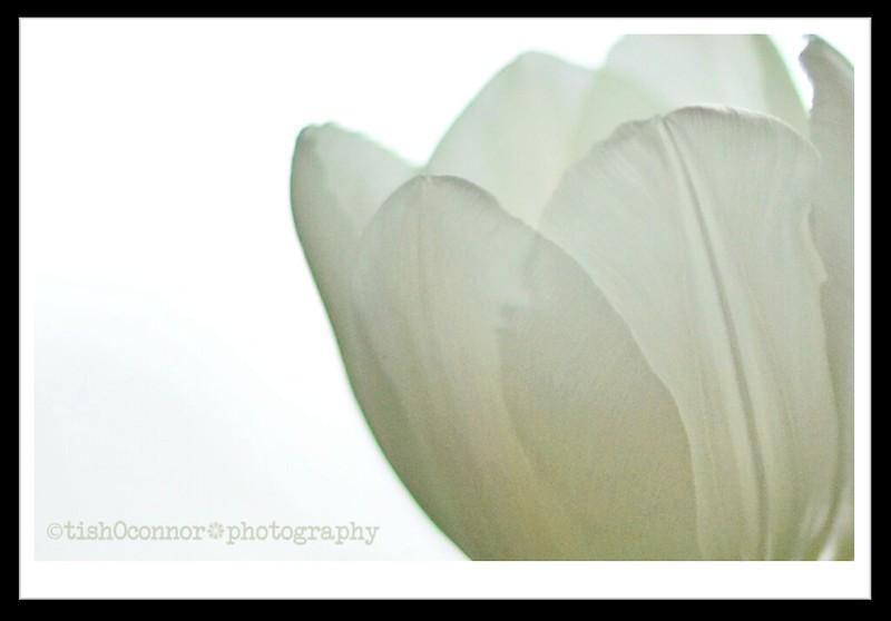 white tulip petals