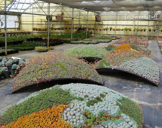 Succulent globe love