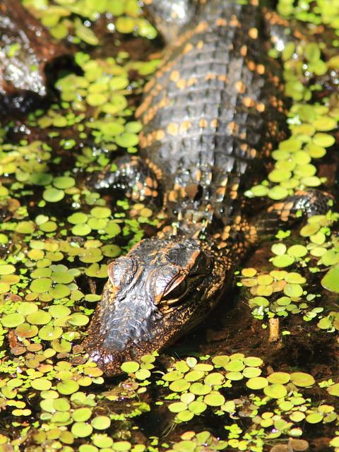 American Alligator baby 20130310