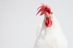 White Chicken on Grey Background