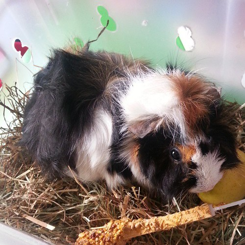 #kiki n'a toujours pas accoucher ♥♡♥ #cochondinde #blog #animal