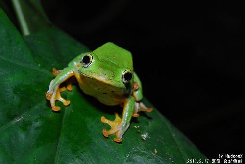 台北樹蛙(24)