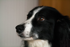puppy(0.0), spaniel(0.0), border collie(1.0), dog breed(1.0), animal(1.0), dog(1.0), pet(1.0), stabyhoun(1.0), mammal(1.0),