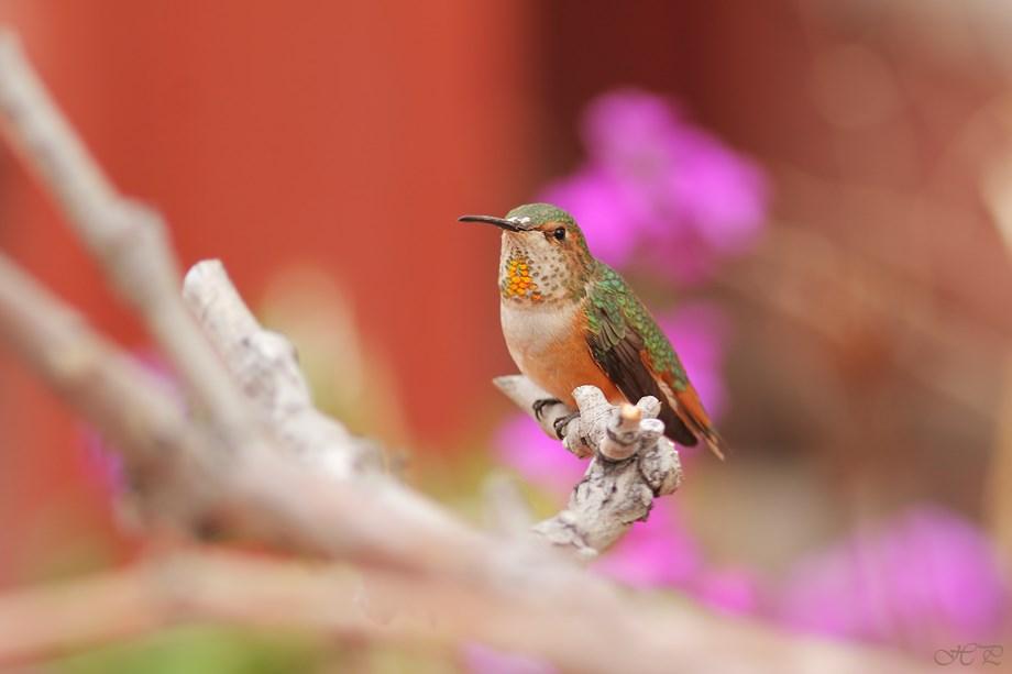 Allen's Hummingbird 032113