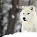 An Artic Wolf by affinity579