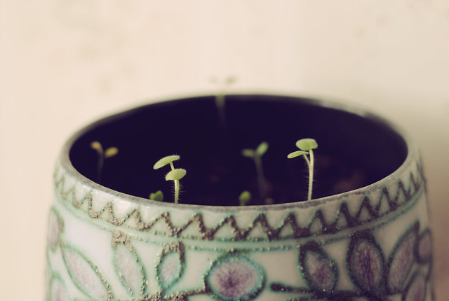 Baby Geraniums