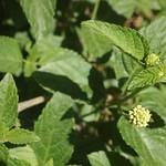 Garden Inventory: Lantana - 2