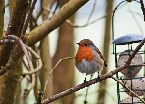 Robin 1 by birbee