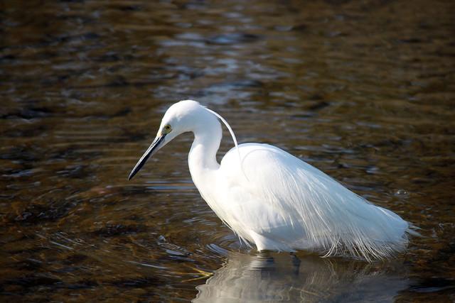 Kyoto egret