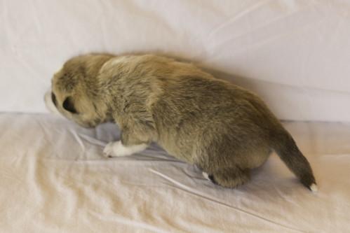 Ike-Kilbe-Pup2-Male(Day 13)-16