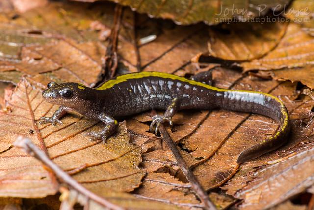 Salamanders On Long Island
