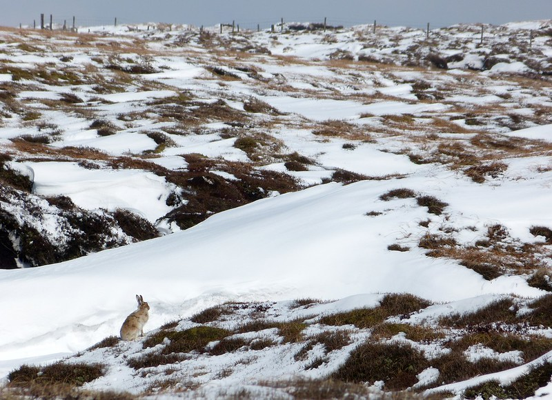 P1040248 - Mountain Hare, Bleaklow