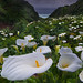Big Sur Cala Lilies by Matt Granz Photography