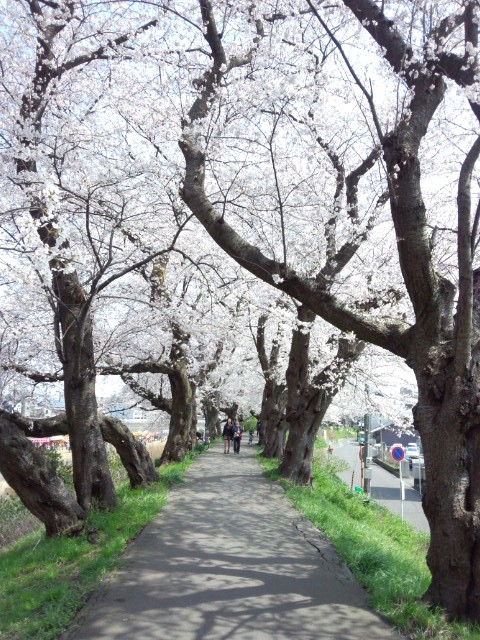 Avenue of the cherry tree