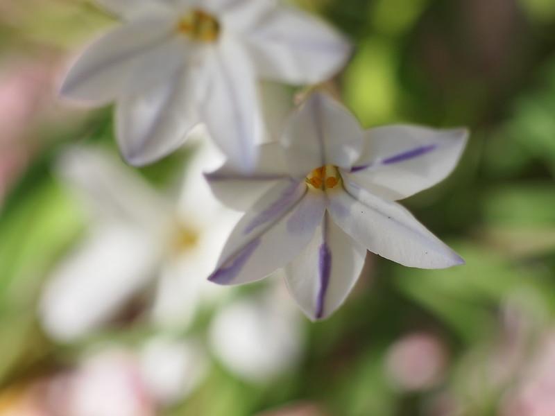 Hananira, Spring Star Flower