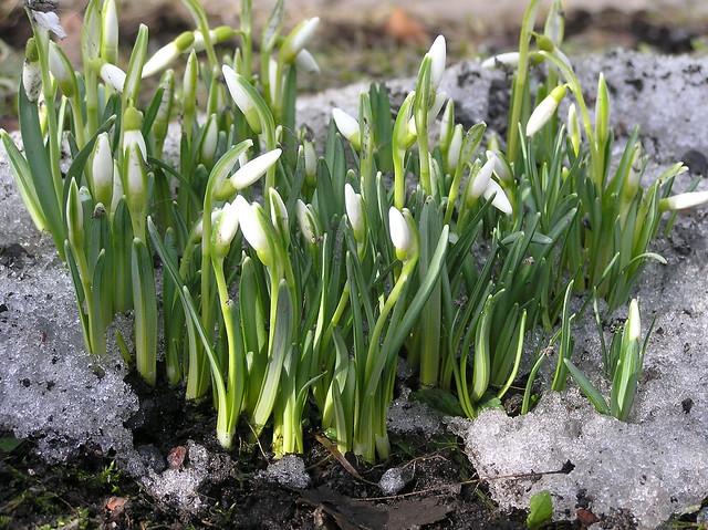 Snowdrops/ Galanthus nivalis