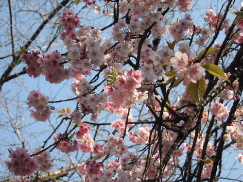 Yaezakura 八重桜