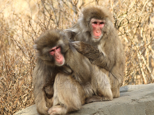 Snow Monkeys- by www.Inspirationalpics.com