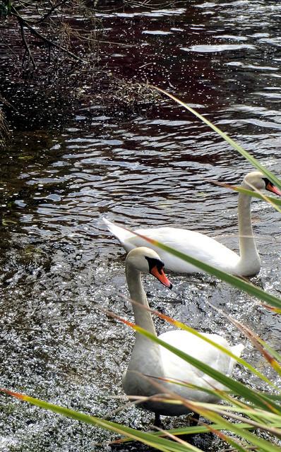 Sunday swans