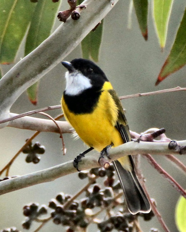 Golden Whistler N Bartlett