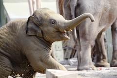Elefant LUDWIG_2013_04_17